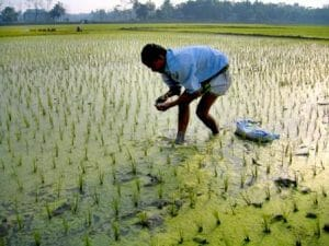 Farmer applying balanced fertilizer in his paddy field